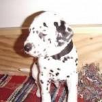 Dalmatiner A-Wurf (3)