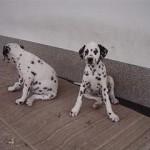 Dalmatiner B-Wurf (4)