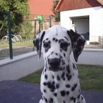 Dalmatiner B-Wurf (8)