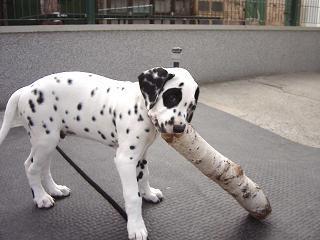Dalmatiner von der Ohrewiese: B Wurf