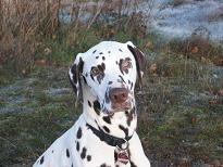 Dalmatiner Carlo