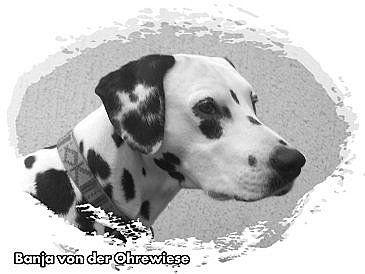 Dalmatiner Danja von der Ohrewiese