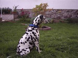 Dalmatiner Ruede Aaron von der Ohrewiese