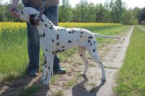 Dalmatiner Spaziergang