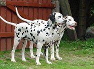 Dalmatiner Zucht