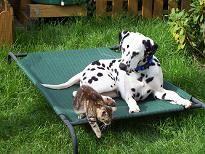 Dalmatiner mit Katze