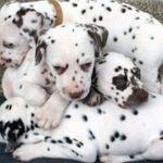 Dalmatinerwelpen machen ein Nickerchen
