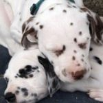 Dalmatinerwelpen schlafen