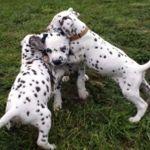 Dalmatiner Welpen spielen